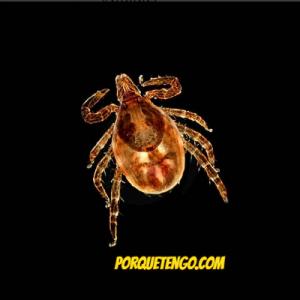 Como eliminar las pulgas de la casa tips y remedios - Tengo pulgas en casa ...