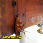 Como Matar Cucarachas Con Acido Bórico