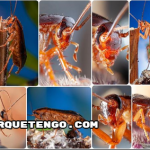 Como Es y Por qué Aparece la Cucaracha Rubia