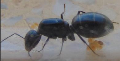 Porque Tengo Hormigas Negras Grandes